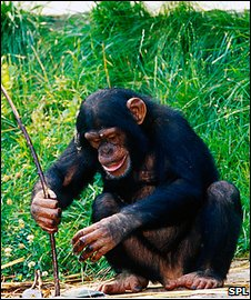 Chimp using stick as a tool
