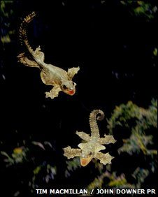 Leaping gecko (Ptychozoon kuhli)