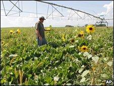 Man in field of sugar beets in Colorado, US