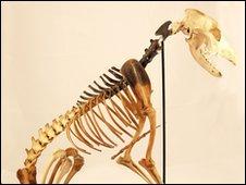 Esqueleto del perro hallado en el Mary Rose