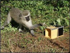 Vervet monkey opening fruit box
