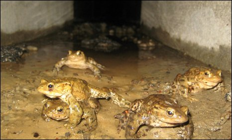 Toads making their way through a concrete-walled tunnel