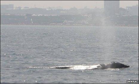 Gray whale sighted off Herzliya Marina