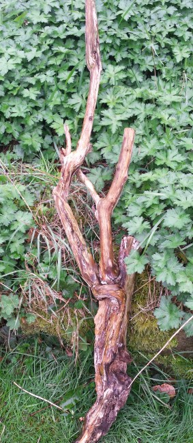 Driftwood lying against a green bed of geranium leaves