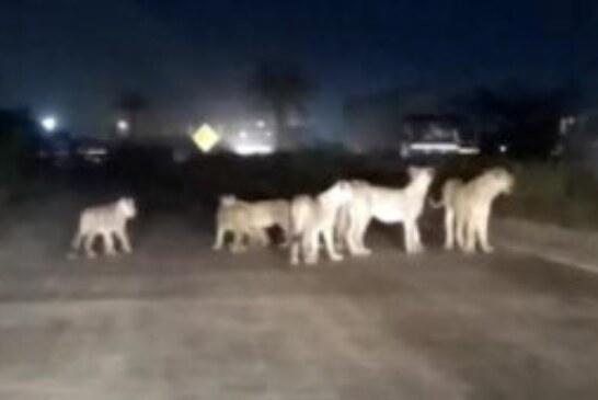 एक महिला ने जंगल में शेरों के बीच बच्चे को जन्म दिया