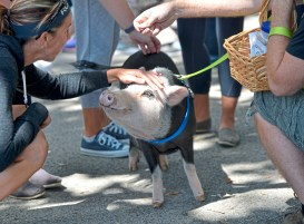 Phantom the pig soaks up attention at the 2017 VegFest in Allegheny Commons on the North Side. Phantom was a representative of the Pittsburgh Squealers and Belly Brothers Pig Rescue. (Pam Panchak/Post-Gazette)