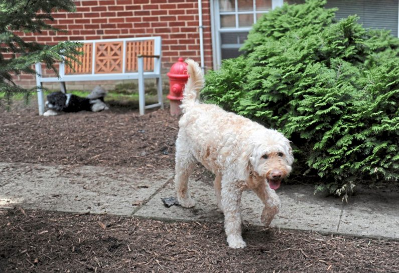 Zach, 9, takes a stroll around the new dog park at the Shadyside Inn All Suites Hotel, one of the new dog-friendly design and amenities offered at the hotel. (Pam Panchak/Post-Gazette)
