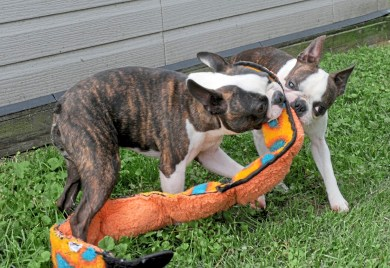 Brothers Blaze, left, and Percy fight for a squeak toy at Davane Kennel Sunday, Aug 19, 2018 in Ohioville. For 39 years Tom and Joyce Davis have been raising Boston Terriers. (Lake Fong/Post-Gazette)