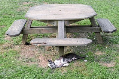 Diamond takes a nap under a picnic table at Davane Kennel Sunday, Aug 19, 2018 in Ohioville. For 39 years Tom and Joyce Davis have been raising Boston Terriers. (Lake Fong/Post-Gazette)