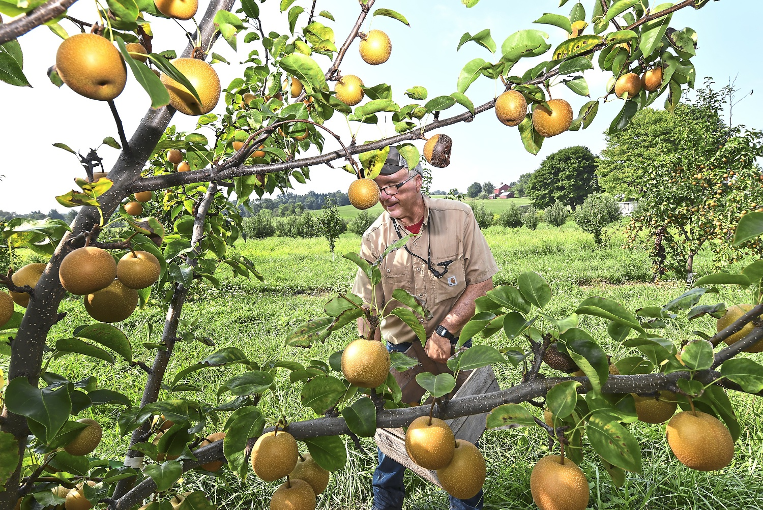 Aaron Sturges, owner of Sturges Orchards, pick Asian pears on his farm Monday Aug. 27, 2018, in Fombell, Beaver County. (Nate Guidry/Post-Gazette)