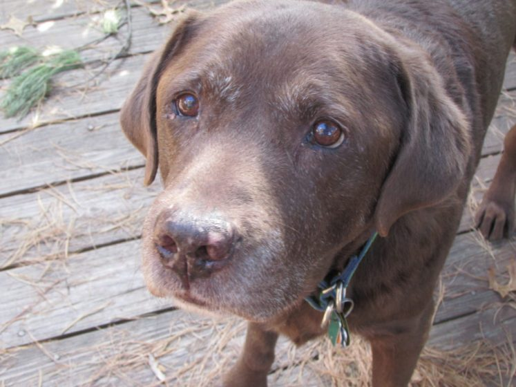 Hurricane is a chocolate Labrador retriever who shares the Kirkland house with four other Labs.