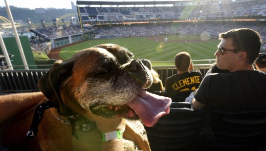 Lucy, a boxer owned by Anthony Pisano of Bridgeville, takes in the game during pup night at PNC Park as the Pirates take on the Diamondbacks. (Matt Freed /Post-Gazette)
