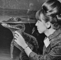 September 19, 1967: Mrs. Thomas Terpack of Squirrel Hill with alligator