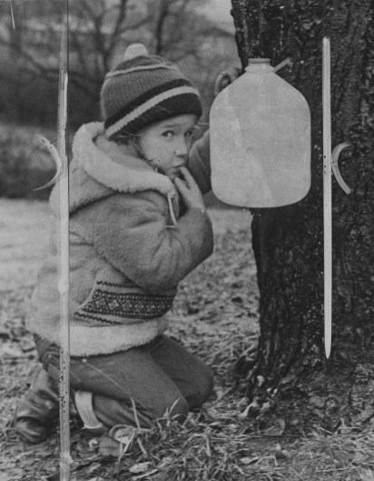 Tanya Schultz, age 4, samples some of the sap collected from a maple tree. (Pittsburgh Post-Gazette)