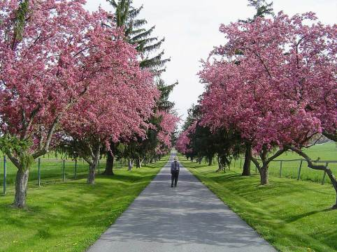 NPS The flowering crabapple trees along the Eisenhower Farm front lane bloom in May. (Photo credit: National Park Service)