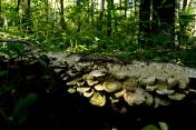 Fungi lines a long fallen tree in the wooded area along Pry Road. (Darrell Sapp/Post-Gazette)
