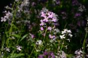 Wild flowers in a wooded area, near Route 308 north of the Waste Management entrance, leading toward Pry Road. (Darrell Sapp/Post-Gazette)