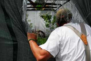 Dan Greenfield, owner of Greenfield Berry Farm, leans into one of his several greenhouses on June 3, 2016 in Cuyahoga Valley National Park. Greenfield Berry Farm was one of the first farms to sign up for the National Park Service's Countryside Initiative to preserve farmland through sustainable practices.