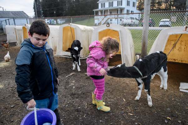 """Anthony Brown, left, 8, carries a bucket of feed as his sister Nellie, 6, gets a lick from a baby calf as they do daily chores, Thursday, Jan. 3, 2019, on their family farm that straddles Saltlick and Bullskin. """"Lots of farms are going under. We're taking it day by day. We're by no means safe still,"""" said the children's mother, Mary Beth Brown, about the family's struggle to keep their farm going."""