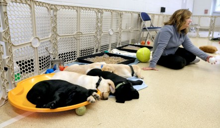 After several hours of playing with volunteers, Labrador Retriever puppies nap while Diane Dunn sits close by during a Special Auxiliary Play Date for invited guests at the Ability Center in Sylvania. THE BLADE/LORI KING