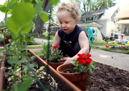 Theodore Montri, 2, places his flower pot near the pea plant in front of his Amherst Drive home in Toledo on Friday, June 14, 2019. THE BLADE/KURT STEISS