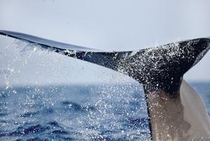 Sperm-Whale-Sri-Lanka