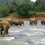 Punnawela Elephant Orphanage