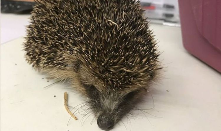 Youths force hedgehog to smoke cannabis then threw her into river