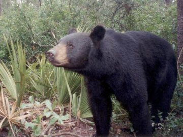 Did a Bear in Florida Use a Woman's Pool After Ripping a Hole in Her Screen?