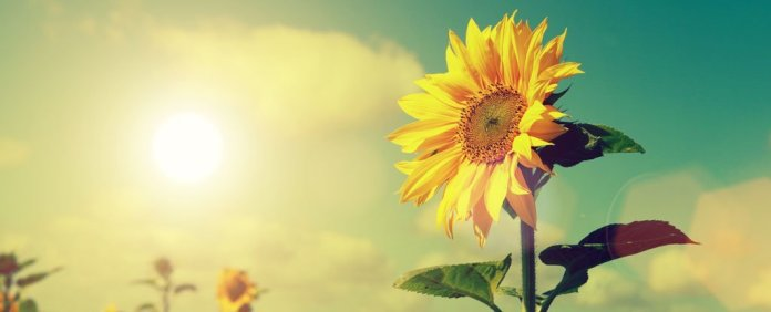 We Finally Know Why Older Sunflowers Keep Facing East (And Why It's a Good Thing)