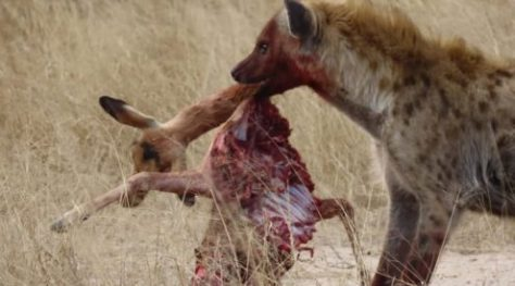 Female leopard fights hyena for her kill