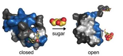 closed and open depictions of insulin molecular structure