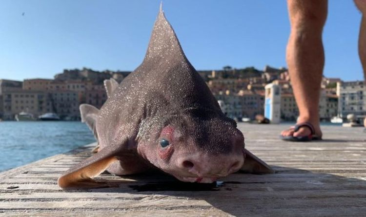 Locals baffled by strange 'gruntings' of deep-sea sharks caught with the face of pigs in Italy