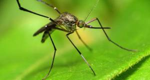 Malaria is spread by mosiquitoess