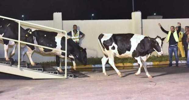 cows in qatar