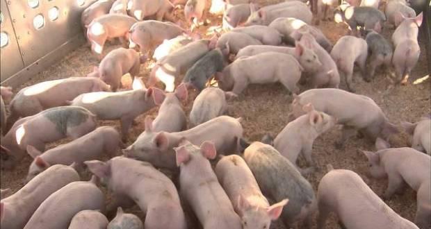 Pig feed on ARV drugs