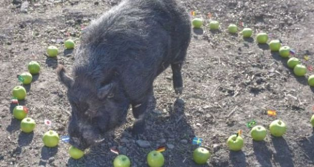 A Pig With 'Special Powers' Predicted World Cup Semifinalists