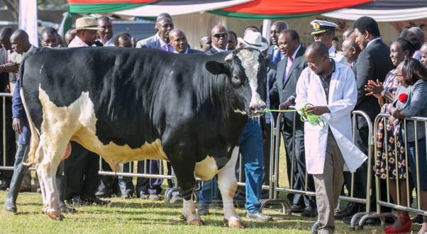 livestock show