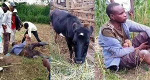 man arrested with cow and grass