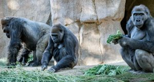 Gorillas test positive for Covid-19
