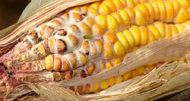 Ugandan Maize Fails Aflatoxin Test Before Export To Kenya