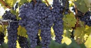 Grape Farmers Ask Govt To Support Nursery Bed Construction
