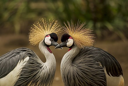 Crested Cranes On Journey To Extinction Due To Environmental Degradation