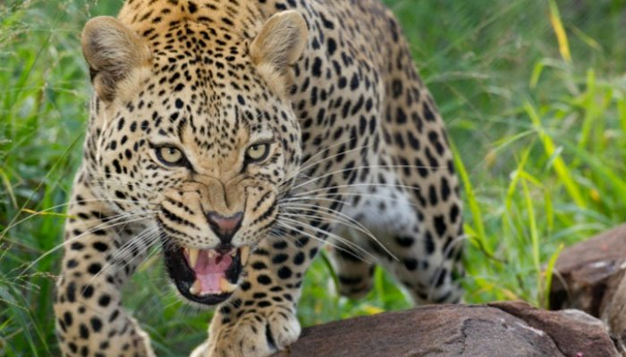 A leopard entered Nathiagali, injuring a woman in the attack