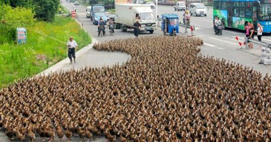 Chinas Duck Army is Coming to Pakistan