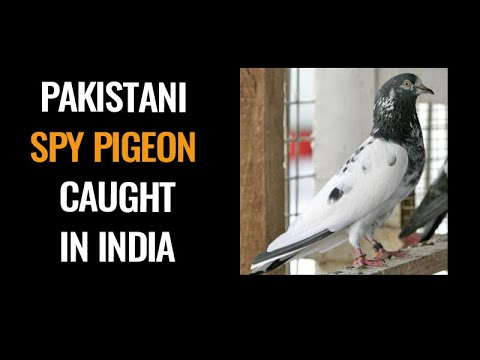 India captures 'another Pakistani spy pigeon' in occupied Kashmir