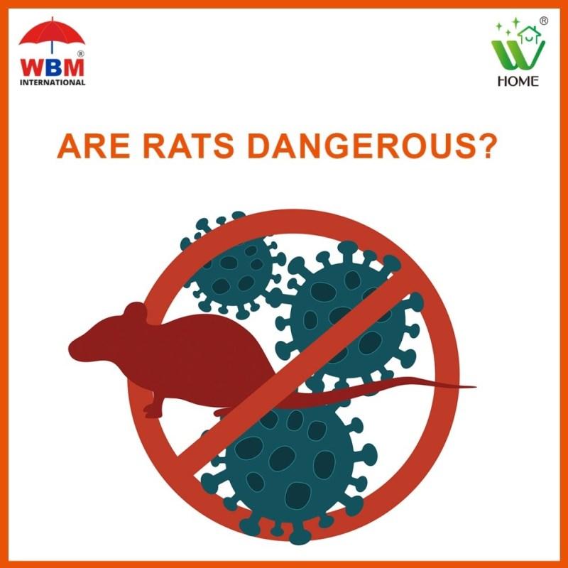 Are rats dangerous?