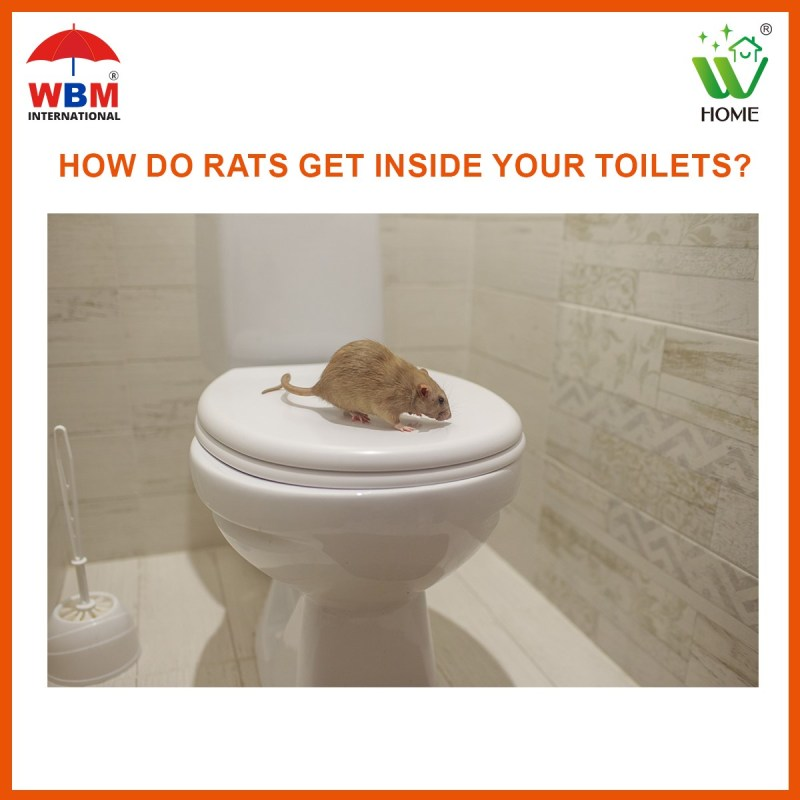 How do rats get inside your toilets?