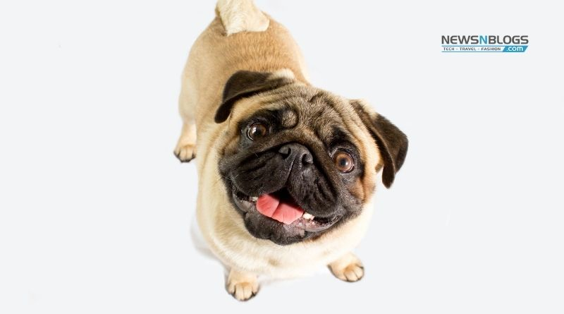 How to take care of Pug dog