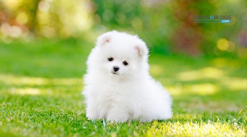 Pomeranian Dog Colors